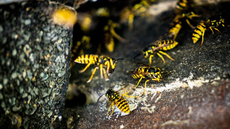 Met deze tips heeft u minder last van wespen