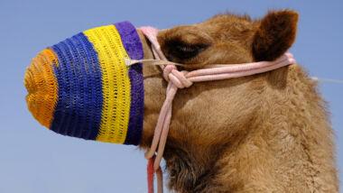 kameel corona